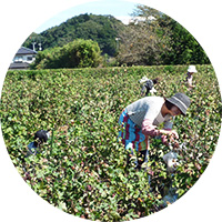 綿摘み収穫
